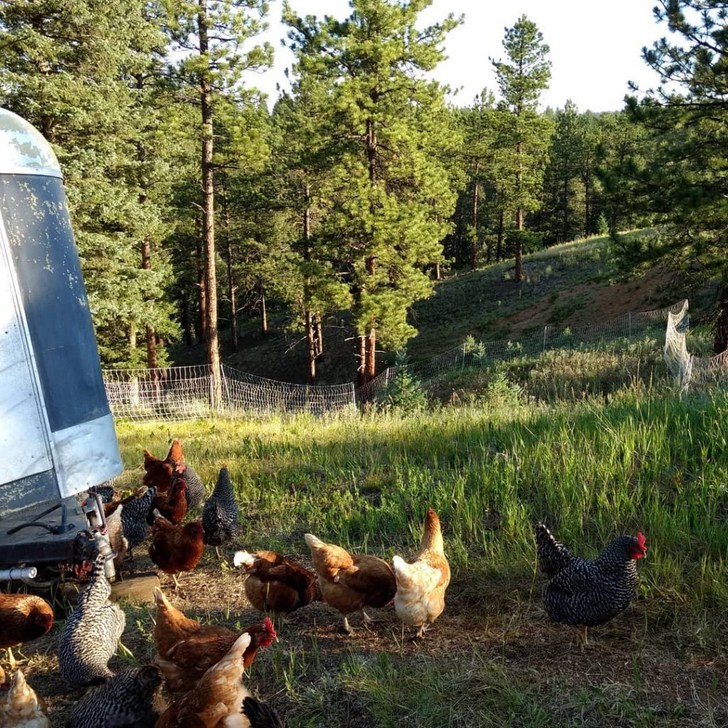 [A Little Farm chickens exploring new pasture in the early sun]